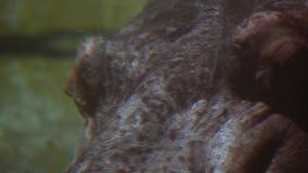 Zbliżenie hipopotama dźwigania chrapy Nad powierzchnia, 4K zdjęcie wideo