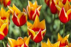 Zbliżenie Holenderski kolor żółty - Czerwoni tulipany rodzaju SYNAEDA królewiątko Obraz Royalty Free