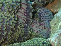 Zbliżenie i makro- strzał dywanowy anemon czasów wolnych di obraz royalty free