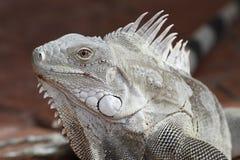 Zbliżenie iguana - Bonaire obraz royalty free