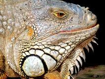 Zbliżenie iguana z białą twarzą fotografia royalty free