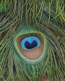 Zbliżenie Indiańscy pawi ogonów piórka Zdjęcia Royalty Free