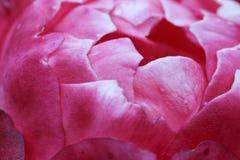 Zbliżenie inside różowi różanego Obrazy Royalty Free