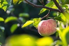 Zbliżenie jabłko na gałąź przy lokalnym gospodarstwem rolnym na słonecznym dniu Obrazy Royalty Free