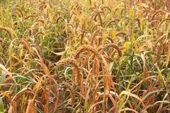 Zbliżenie jaglana roślina w polu obraz royalty free
