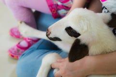 Zbliżenie jagnięcy obsiadanie na kobieta podołku w sala lekcyjnej na zwierzęcym dnia wydarzeniu Zdjęcie Royalty Free