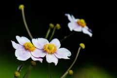 Zbliżenie japoński anemon obrazy royalty free