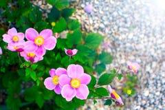 Zbliżenie Japoński Anemonowy Windflower kwitnie w menchiach z żółtymi stamens w ogrodowym Anemonowym hupehensis vel japonica sunl fotografia royalty free