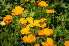 Zbliżenie jaskrawy żółty Kalifornia maczek kwitnie z zieleni bac zdjęcie stock