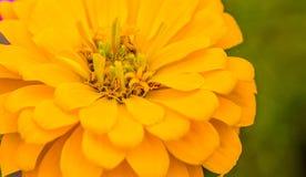 Zbliżenie jaskrawy żółty kwiat Zdjęcie Royalty Free
