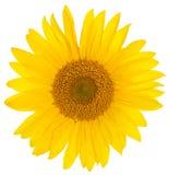 Słonecznikowy zbliżenie Zdjęcia Stock