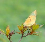Zbliżenie jasnożółty motyl Zdjęcie Stock