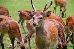 zbliżenie jeleni Japan Nara dostrzegający Obrazy Stock