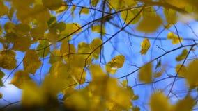 Zbliżenie jesień malująca opuszcza na wiatrze z niebieskiego nieba tłem zdjęcie wideo