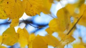 Zbliżenie jesień malująca opuszcza na wiatrze z niebieskiego nieba tłem zbiory