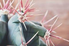 Zbliżenie kaktusowy trzon pokazuje ostrych kręgosłupy Areoles kaktus z czerwonymi prickles zdjęcie royalty free