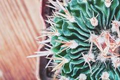 Zbliżenie kaktusowy trzon pokazuje ostrych kręgosłupy, odgórny widok Areoles kaktus z prickles, mieszkanie nieatutowy obrazy royalty free