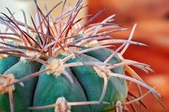Zbliżenie kaktusowy trzon z ostrymi kręgosłupami Areoles zieleni kaktus z prickles zdjęcia stock