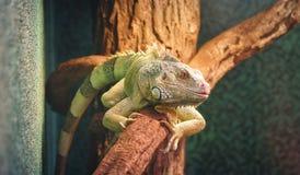 Zbliżenie kameleon na gałąź, kolorowa iguana w kolorach zielenieje i czerni, tropikalny gad od Madagascar zdjęcie stock