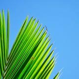 Zbliżenie kokosowy liść w dostępnym świetle Obrazy Royalty Free