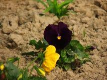 Zbliżenie kolor żółty i fiołkowy kwiat Obrazy Royalty Free