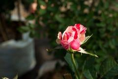 Zbliżenie kolorowa róża kwitnie na drzewie, Słodcy miłość pojęcia, Romansowi pojęcia, Makro- wizerunki Zdjęcia Stock