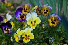 Zbliżenie kolorowy pansy kwiat ogrodowy pansy zdjęcie royalty free