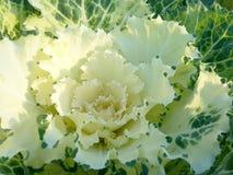 Zbliżenie koloru sałaty świeży wielo- warzywo Obrazy Stock