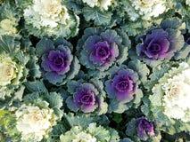Zbliżenie koloru sałaty świeży wielo- warzywo Zdjęcie Stock