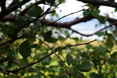 Zbliżenie konar z liśćmi Zdjęcie Royalty Free