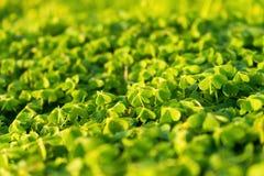 Zbliżenie koniczyny na słonecznym dniu w miękkim świetle Zdjęcia Royalty Free