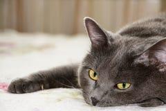 Zbliżenie krótkiego włosy szarość kot Zdjęcie Stock