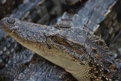 Zbliżenie krokodyl głowa zdjęcia stock