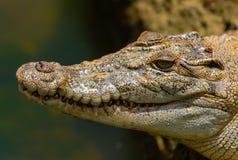 Zbliżenie krokodyl przy Bandung zoo fotografia royalty free