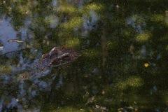 Zbliżenie krokodyl z głowy above - wodą fotografia royalty free