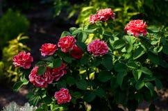 Zbliżenie krzak piękne czerwone i różowe róże zdjęcie royalty free