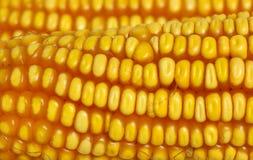 zbliżenie kukurydzę żółty Obrazy Royalty Free