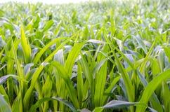 Zbliżenie kukurydzany pole Zdjęcie Stock