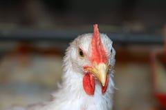Zbliżenie kurczak głowa w kurczaka gospodarstwie rolnym Fotografia Royalty Free