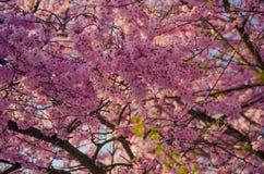 Zbliżenie kwiatonośny różowy Sakura drzewo zdjęcia royalty free
