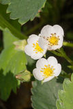 Zbliżenie kwiatu makro- truskawkowy okwitnięcie przy pogodnym letnim dniem Zdjęcie Stock