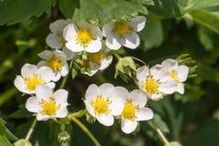 Zbliżenie kwiatu makro- truskawkowy okwitnięcie przy pogodnym letnim dniem Obrazy Stock