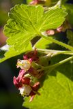 Zbliżenie kwitnąć jostabarry kwiatu ribes nidigrolaria z jostaberry urlopem Selekcyjna ostrość głębokość pola płytki Zdjęcie Stock