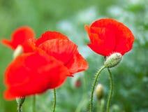 Zbliżenie kwitnący czerwony maczek kwitnie i maczek pączkuje Zdjęcie Royalty Free