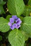 Zbliżenie kwitnący purpurowy hortensia kwiatu hortensi serrata kwiat z zieleni waterdrops i liśćmi głębokość pola płytki Zdjęcia Royalty Free