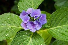 Zbliżenie kwitnący purpurowy hortensia kwiatu hortensi serrata kwiat z zieleni waterdrops i liśćmi głębokość pola płytki Zdjęcie Royalty Free