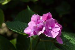 Zbliżenie kwitnący purpurowy hortensia kwiatu hortensi serrata S Obraz Stock