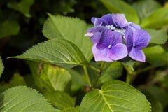 Zbliżenie kwitnący purpurowy hortensia kwiatu hortensi serrata Selekcyjna ostrość głębokość pola płytki Zdjęcie Stock