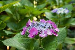 Zbliżenie kwitnący purpurowy hortensia kwiatu hortensi serrata Selekcyjna ostrość głębokość pola płytki Obraz Stock