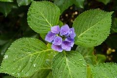 Zbliżenie kwitnący purpurowy hortensia kwiatu hortensi serrata Selekcyjna ostrość głębokość pola płytki Obrazy Stock